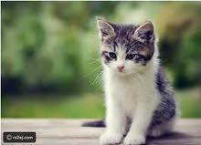 مطلوب قطة للتبني كون صغيرة علقو لحد يخابر