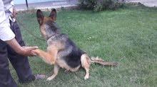 فرصه لاصحاب المزارع والفيلات للحراسه عدد اتنين كلب انثي بلجيكي بيور الاولي لونج هير الواحده 1600