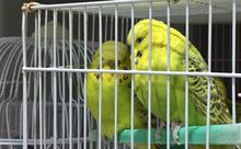 For Sale Holland Love Birds In Pair