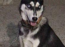 كلبة هاسكي عمر اربع شهور