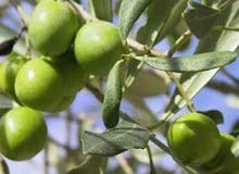 مقاول التلقيط الزيتون في كافت مساحت المزارع وفي اَي منطقه داخل الأردن