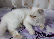قط هملايا ذكر للبيع (البيع مستعجل)