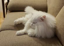 قط شيرازي للتبني طيب جدا وحبوب لدواعي السفر