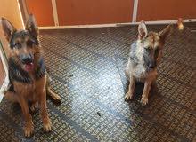 جيرمن شيبرد للبيع - German Shepherd for sale