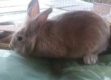 أرنب رأس أسدي للبيع