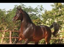 حصان عربي اصيل السعر مناسب