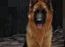 كلب جرمن 10شهور