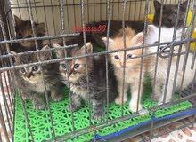 للبيع قطط شيرازي  صغار ذكور اناثي معتمده على نفسها