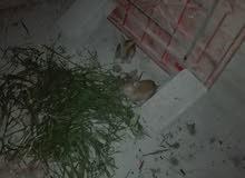 جوز ارانب للبيع