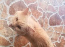 قطه ذكر.  السويق النبره