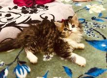قطه شيرازي مون فيس انتى شهرين