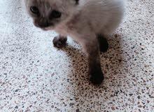 قطة سيامو