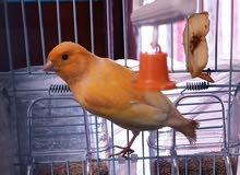 بيع عصافير