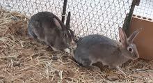 ارانب باقي 6  اناثي  وكلهن لاقحات