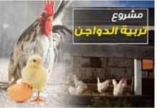 الصحاب المحلات يتوفر لدينا دجاج البيض الاحم أوزان من 1,200جرام بعد اذبح