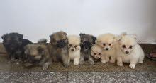 كلاب بومرينيان