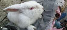 دكر أرنب مالطي