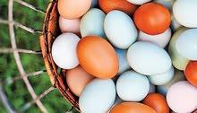 مطلوب بيض دجاج زينه ملقح
