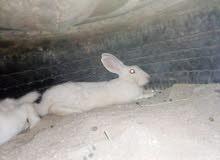 اللبيع ارانب
