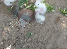 زوج ارانب مع عيالهم