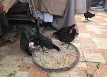 دجاج مخلط