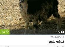 مطلوب كبش عماني اسود كامل