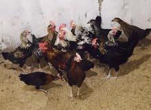 للبيع دجاج محلي باحسن الاسعار