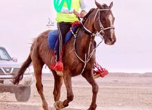 حصان مرثون