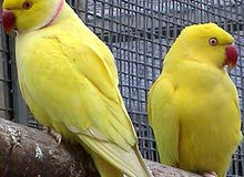 male and female yellow neck for breeding