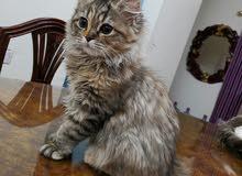 قطه شيرازي تايجر للبيع