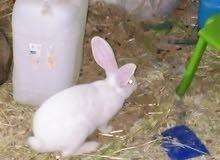 طقم ارانب