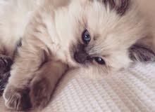 قطة هملايا عمرها شهرين