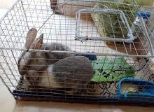 زوج ارانب في عمر التزاوج