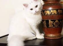 قط شيرازي للبيع مستعجل جدا جدا