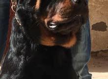 احتاج كلب روت تقليب عالي العمر من 3الي 7 شهور شراسه وطاعه