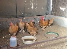 للبيع دجاج كوشن العملاق
