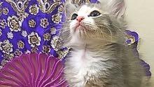 قطة  شيرازي العمر 45 يوم