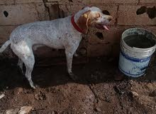 كلب بونتر ليل العمر سنه ونص  انوع بونتر علا زغاري كلب سراح وسراحتو جميله جدن بدا