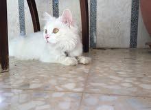 قطط انغورا
