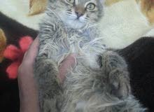 قطط شيرازي صغيره وكبيره اليفه