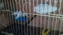 عصافير زيبرا بيضا