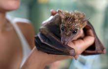 خفاش أو وطواط للبيع