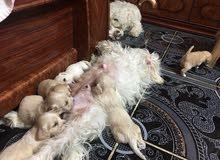 كلاب تيرير اقزام صغيرة لعوبة