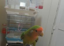 روز وو طيور حب