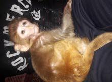قرد نثية عمر شهرين بصحة جيدة