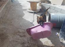 كلب جيرمان شيبرد كامل المواصفات كسحهه  حجم ظخم عمره سنه ونصف