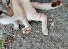 قطة هيمالايه