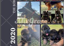 Puppies king size for sale