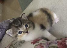 شانشيلا قطط