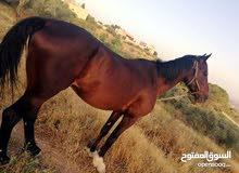 حصان للبيع كفاله من جميعه العمر خمس سنوات ساغ سلم ركوب ناار عقل كفاله السعر 400